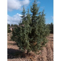 Cade Juniperus oxycedrus