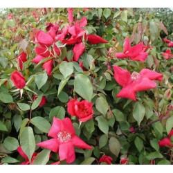 rosa chinensis sanguinea 3l