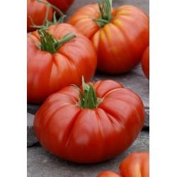 Tomate SUPERSTEAK HF1