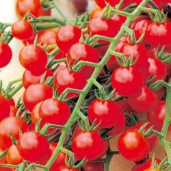 Tomate Cerise Red Cherry BIO