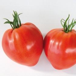 Tomate CAURALINA HF1 BIO