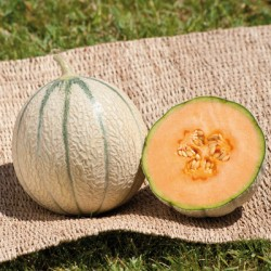 melon JENGA HybF1 BIO
