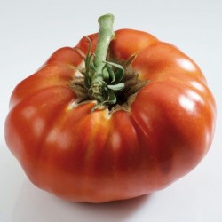 Tomate Russe ROUGE